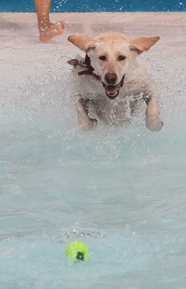 Yellow Lab Chases a Ball into the Pool